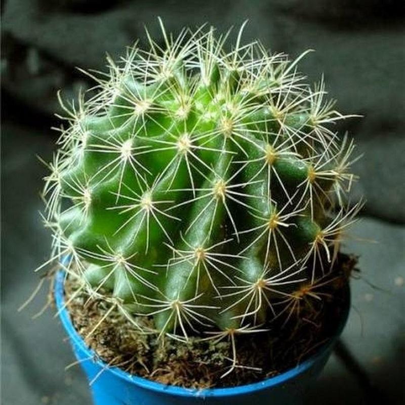 ჩემი რევმატიზმი გაქრა როცა ამ მცენარის ნაყენი მივიღე. არადა ის ყველას აქვს სახლში.