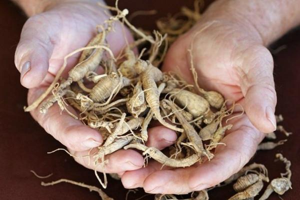 ეს მცენარე სახსრებში ხვდება და ხრტილებს აღადგენს